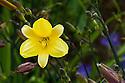 Daylily (Hemerocallis 'Corky'), end June.