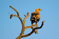 KLASERIE PRIVATE GAME RESERVE, SOUTH AFRICA, DECEMBER 2004. An eagle sits in the tree on the lookout for prey. Wildlife guide Gary Freeman takes people on walking safaris in the bush. Photo by Frits Meyst/Adventure4ever.com