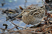 Wilson's Snipe at Shoreline of pond