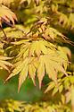 Acer palmatum 'Orange Dream', mid April.