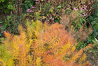 Amsonia hubrichtii in autumn fall foliage color with Echinacea