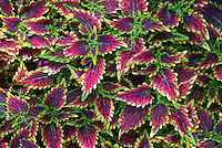 Coleus 'Sky Fire' (Solenostemon), annual foliage plant in red and green serrated leaves color