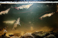 Freshwater prawns in a tank at The West Lake Restaurant. Able to seat up to 5,000 people at one sitting, The West Lake Restaurant is the biggest Chinese restaurant in the world. Each week its diners, who staff are taught are 'the bringers of good fortune', devour 700 chickens, 200 snakes, 1,200 kgs of pork and 1,000 kgs of chillis. Its 300 chefs cook in five kitchens and its staff total more than 1,000.It is fully booked most nights.