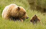 Brown Bear and her cub, a tender moment, Lake Clark NP, Alaska.   Photo by Gus Curtis