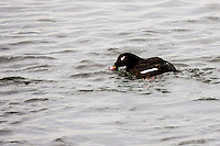 A White-winged scoter floats on San Francisco Bay at the San Leandro Marina.