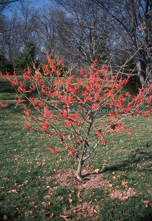 Witch hazel Diane, Hamamelis x intermedia in early spring / late winter tree flower