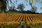 Vineyard in autumn on Westside Rd.,Forestville, Sonoma County, CA