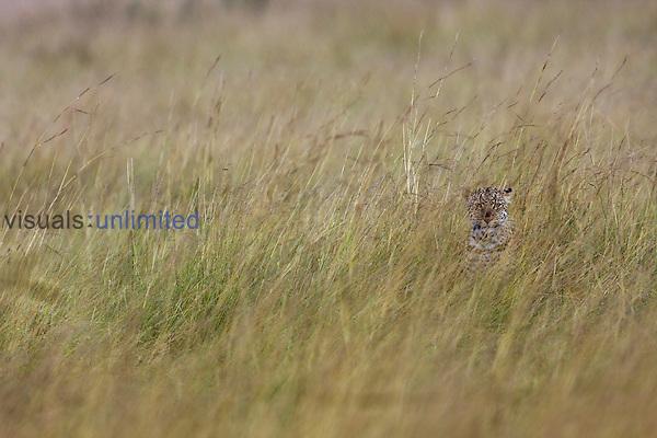 Leopard hunting, camouflaged in long grass (Panthera pardus), Maasai Mara National Reserve, Kenya.