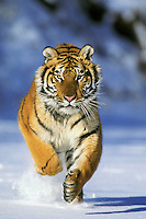 Siberian Tiger or Amur Tiger (Panthera tigris) running, Endangered Species.  Winter.