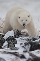 Polar Bear walking over the rocks along the shore of Hudson Bay