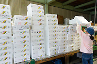 Boxes of leaves at the agricultural cooperative, Kamikatsu, Katsuura, Tokushima Prefecture, Japan, July 7, 2014. The Irodori Project is based in the mountain town of Kamikatsu, Tokushima Prefecture. Farmers - many of them elderly - grow leaves and flowers to use to decorate Japanese food in restaurants and hotels across the nation.