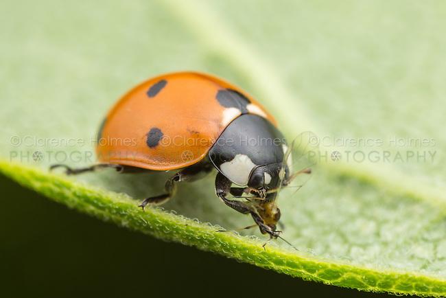 A Seven-spotted Lady Beetle (Coccinella septempunctata) eats captured prey.