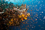 Cloud of glassy sweepers and anthias on coral bommie in the Great Barrier Reef in summertime