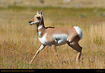 Pronghorn Juvenile, Lower Mammoth, Yellowstone National Park, Wyoming