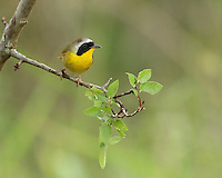 "A skulking masked warbler of wet thickets, the Common Yellowthroat is far more frequently heard than seen. Its ""wich-i-ty, wich-i-ty, wich-i-ty"" can be heard from the Yukon to Newfoundland, and from southern Florida to southern Mexico. Male seen here."