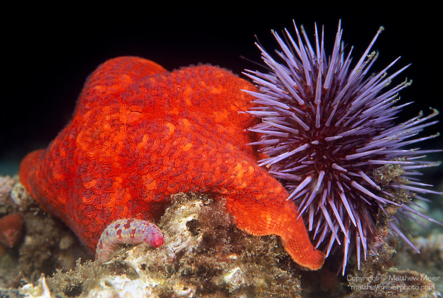 Santa Cruz Island, Channel Islands National Park & National Marine Sanctuary, California; a red Bat Star (Patiria miniata) and a Purple Sea Urchin (Strongylocentrotus purpuratus) on the rocky reef , Copyright © Matthew Meier, matthewmeierphoto.com All Rights Reserved