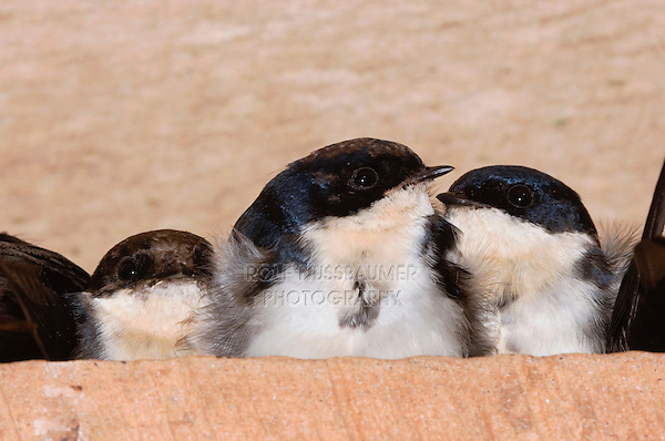 how to stop swallows from roosting