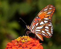 The Gulf Fritillary is a striking, bright orange butterfly of the family Nymphalidae. National Wildlife.