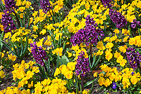 Bulbs and perennials in spring bloom together: yellow violets viola pansies and purple hyacinthus Woodstock