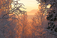 Mt Moffit of the Alaska mountain range through the frosted birch trees in winter,  Fairbanks, Alaska