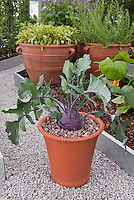 Kohlrabi in pot with leaves, purple Vienna variety