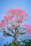 Pink Ipe tree, Tambopata -Candamo National Reserve, Peru