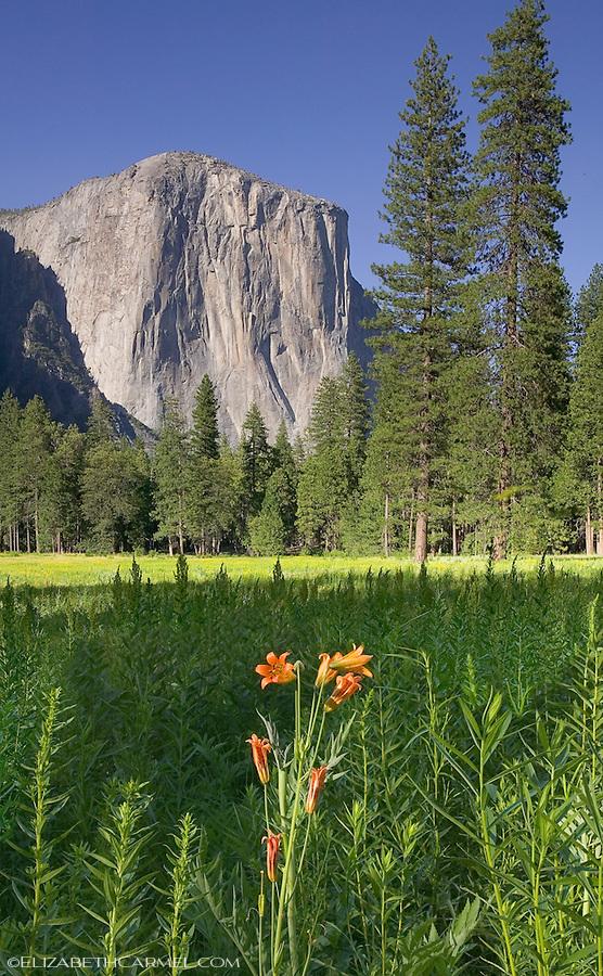 Yosemite Lilly