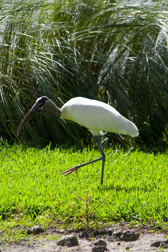 Wood stork, Morton Lake, Lakeland, Florida