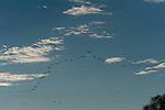 Australian Pelicans(Pelecanus conspicillatus) fly the skies along the Cooper Creek