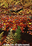 Fall Forest Floor, Colorful leaves, Ferns, NE PA