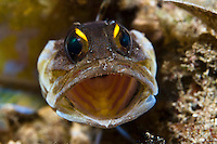 Yellow Barred Jawfish (Opistugnathus) lives in small holes in sand, Bunaken, Sulawesi, Indonesia.
