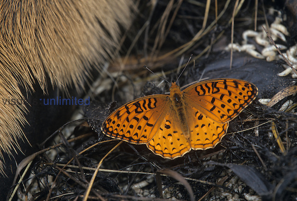 Aphrodite Fritillary (Speyeria aphrodite) attracted to carrion.
