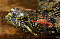 The red-eared slider (Trachemys scripta elegans), AKA red-eared terrapin, is a semi-aquatic turtle belonging to the family Emydidae.
