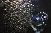 School of Glass fish (Thryssa baelama) at Crocodile Island Divesite,Boracay, Philippines