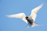 Arctic tern hovering in flight, Alaska range, interior, Alaska.