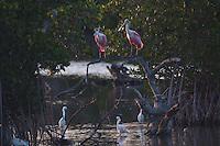 Roseate Spoonbills (Ajaia ajaja) and Snowy Egrets (Egretta thula), Pelican Island National Wildlife Refuge, Vero Beach,  Florida, US