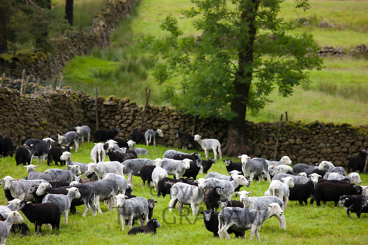 Herdwick sheep at Westhead Farm by Thirlmere in the Lake District National Park, Cumbria, UK
