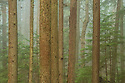 Fog and trees in forest, Mount Constitution, Moran State Park, Orcas Island, Washington.