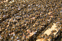 Switzerland. Canton Ticino. Montagnola. A large number of female worker bees on an open hive which belongs to Alberto Bianchi, a beekeeper and an organic farmer (with the label Bio Suisse). Beekeeping (or apiculture) is the maintenance of honey bee colonies, commonly in hives, by humans. A beekeeper (or apiarist) keeps bees in order to collect honey and other products of the hive (including beeswax, propolis, pollen, and royal jelly). 31.05.12 &copy; 2012 Didier Ruef