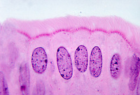 Columnar epithelium in the isthmus of the fallopian tube. LM X480