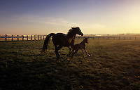 Dreams are built on the hope of having a young spirited foal that might grow up to win the Derby. Generations of horses from a few elite bloodlines are bred for speed. One of this years young hopefuls, a foal romps through a paddock on Claiborne Farm when turned out early, one frosty morning.
