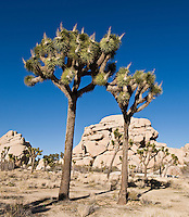 Joshua trees - Yucca brevifolia, Joshua Tree national park, California
