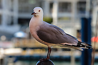 The Victoria & Alfred Waterfront in the harbour of Cape Town, South Africa. A Hartlaubs Gull.