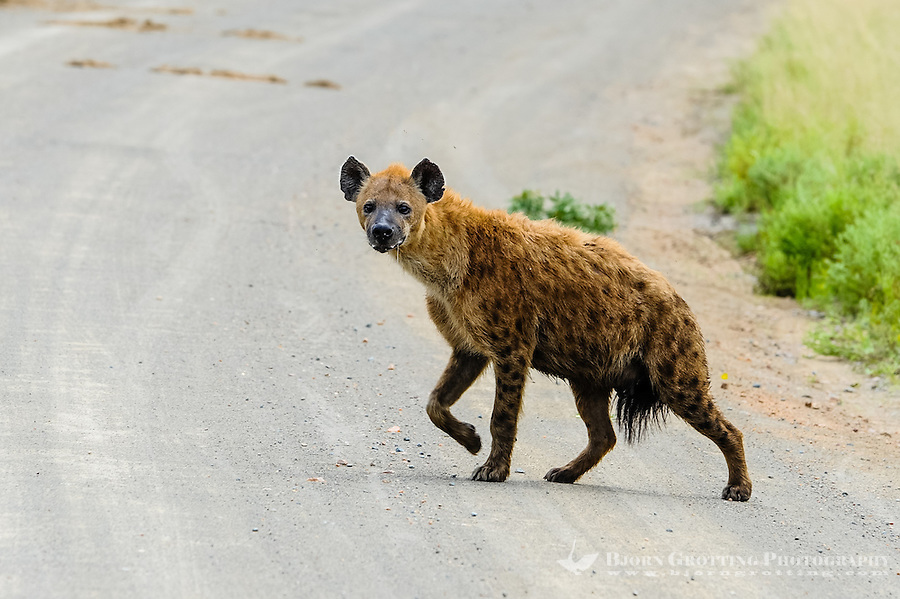 Spotted Hyena in the Kruger National Park, the largest game reserve in South Africa.
