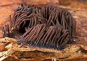 Slime Mold sporangia or fruiting bodies (Stemonitis), Berkeley, California, USA