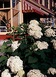 Lilac in Planter on Niagara on the Lake Street