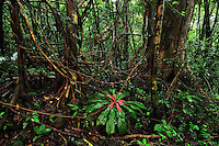 Tropical rainforest with numerous lianas or vines in Masoala National Park, Madagascar