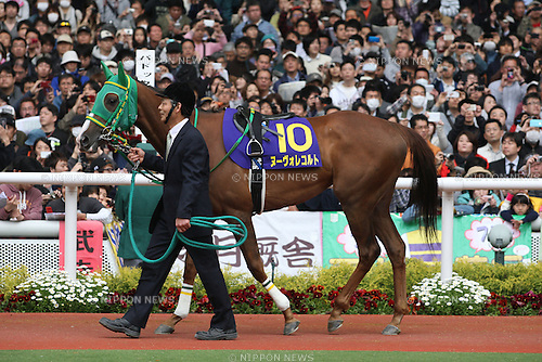 Nuovo Record,<br /> APRIL 13, 2014 - Horse Racing :<br /> Nuovo Record is led through the paddock before the Oka Sho (Japanese 1000 Guineas) at Hanshin Racecourse in Hyogo, Japan. (Photo by Eiichi Yamane/AFLO)