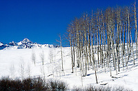 ICE AND SNOW<br /> Aspens On Snow Covered Mountain<br /> Telluride, CO