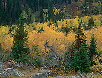 749450269 willows in fall color show brilliant yellow interspersed with fir trees near the trailhead in lupine meadows grand tetons national park wyoming